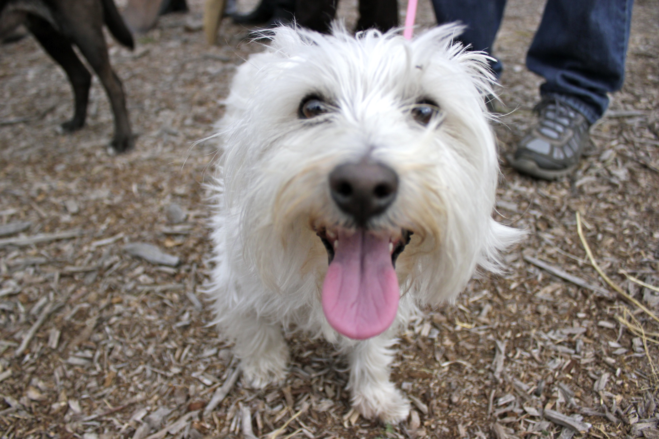 Capistrano Animal Rescue Effort member Mark Rottman's dog, Noel, also took part in the groundbreaking ceremony. Photo by Brian Park