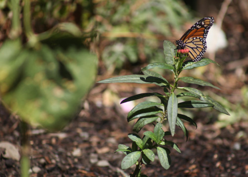 Freshly planted milkweed, grown by girl scouts from the Laguna Niguel area, attracts a Monarch butterfly. Photo: Allison Jarrell