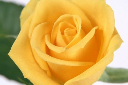 rose-flower-images-free-download-hd-33-500x400