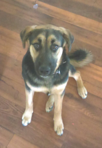 Millie, a 1-year-old shepherd mix, has been reported missing after escaping from a grooming appointment. Photo: Courtesy
