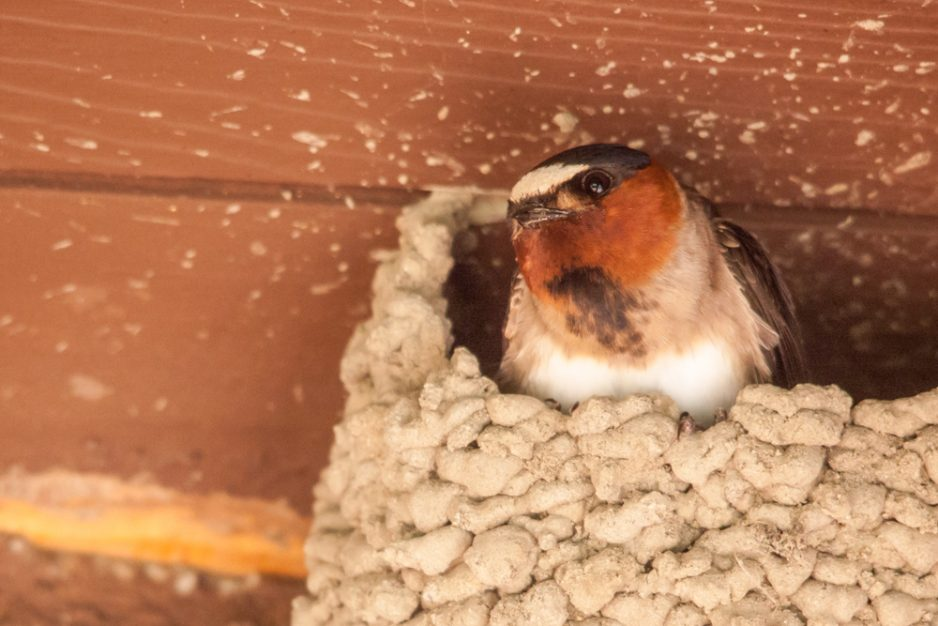 A swallow peeks out of its nest on a recent afternoon at the Mission.
