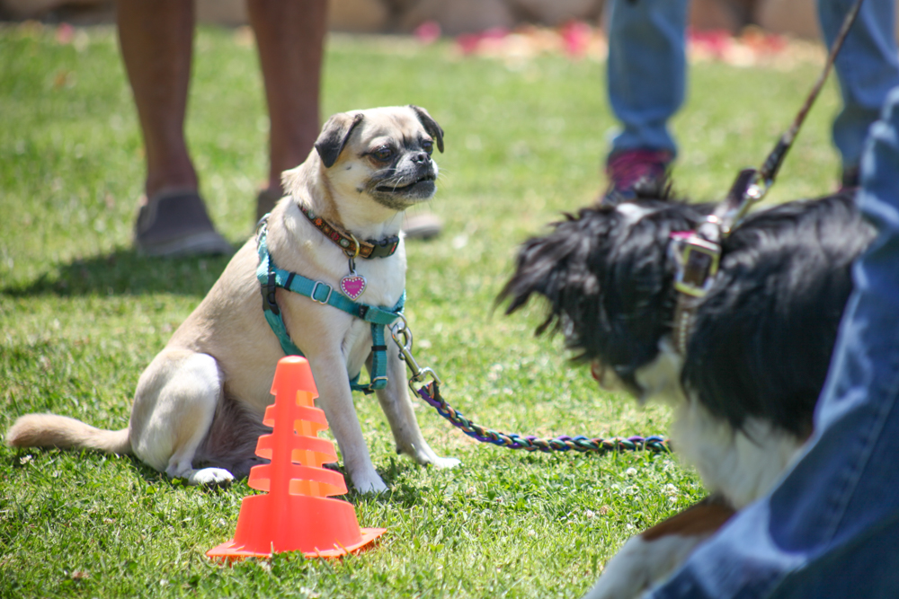 Nova, a 5-year-old pug-Chihuahua mix, competes in a sit and stay contest. Photo: Allison Jarrell