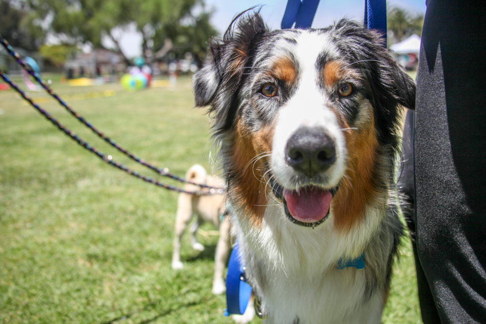 Bodhi, a 15-month-old Australian Shepherd, took home prizes in the commands and agility contests. Photo: Allison Jarrell