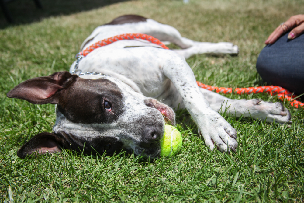 Banjo, a 1.5-year-old Staffordshire terrier, is one of the dogs up for adoption from Doggie Bonez. Photo: Allison Jarrell