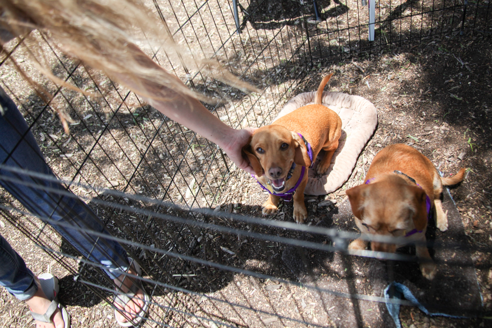 A dog up for adoption enjoys some attention during the Old Town Doggy Showdown. Photo: Allison Jarrell