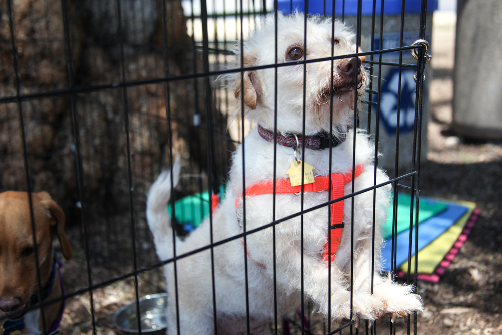 A dog up for adoption makes eye contact with attendees during the Old Town Doggy Showdown. Photo: Allison Jarrell