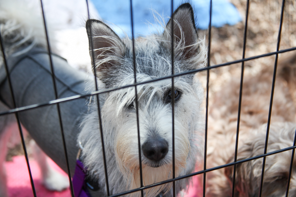 Nika, a 1-year-old schnauzer mix, was one of the dogs up for adoption during the event. Photo: Allison Jarrell