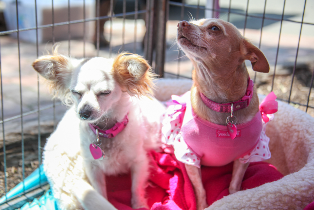 """Peas and Carrots, a """"bonded pair"""" of Chihuahuas, are looking for their forever home. Photo: Allison Jarrell"""