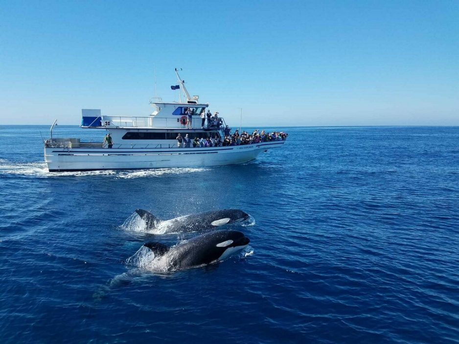Two orca whales were seen breaching beside the Ocean Institute's Sea Explorer on Oct. 6. A Photo: Tom White