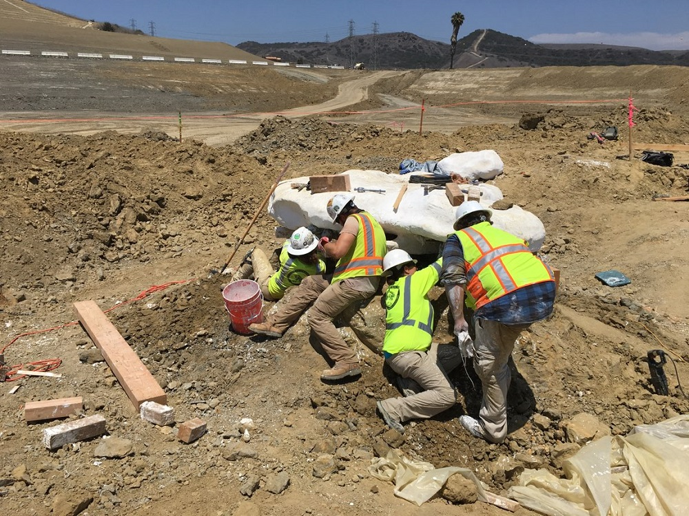 Paleontologists work on the bones of a prehistoric whale that was discovered at The Prima Deshecha Landfill in San Juan Capistrano. Photo courtesy of Orange County Waste and Recycling.