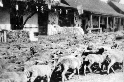 Sheep are herded through downtown San Juan Capistrano, circa late 1800s. Courtesy of OC Archives