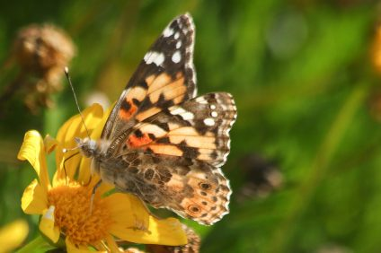 Painted lady butterflies were seen in masses in San Clemente on March 15. Photo: Eric Heinz