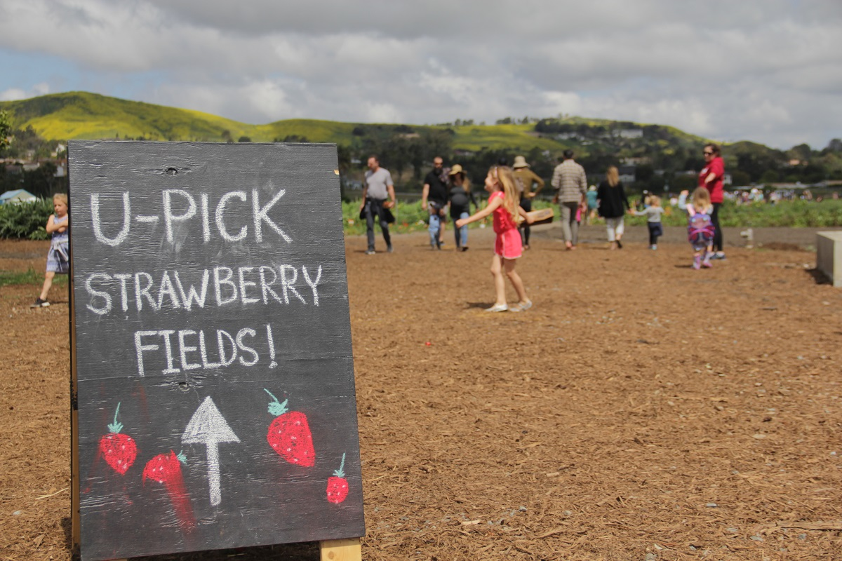 Dozens of people came out to the Ecology Center on Saturday, April 6, to pick strawberries from the patch. The Center recently launched its U-Pick Strawberries days in which the community is welcome to purchase fresh strawberries by the pound. Photo: Shawn Raymundo