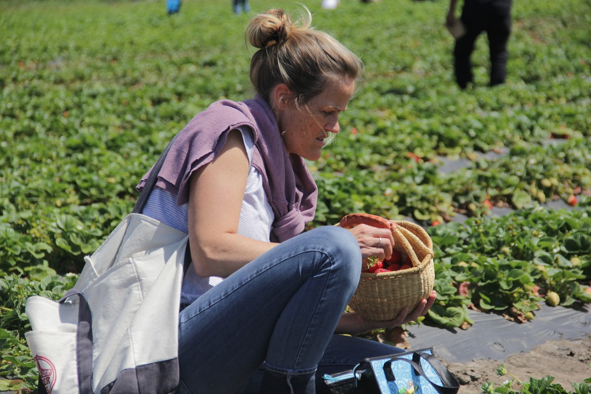 Laguna Beach resident Momi Bartholomew, 40, fills up a basket with strawberries during the Ecology Center's newly launched U-Pick Strawberries days on Saturday, April 6. Photo: Shawn Raymundo