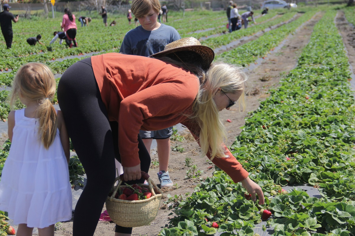 On Saturday, April 6, 35-year-old Krystal Holmes of Laguna Beach reaches for a fresh strawberry at the Ecology Center's U-Pick Strawberries days. Photo: Shawn Raymundo